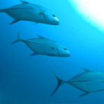 Fishing_on_La_Digue_Island_Seychelles_(Trevally)
